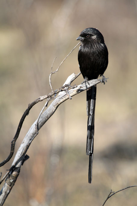 Magpie or Long-tailed Shrike / Borakalalo National Park, South Africa