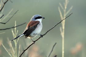 Red-backed Shrike - male / Hluhluwe Game Reserve, South Africa