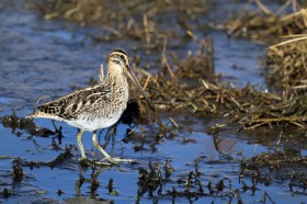 African or Ethiopian Snipe / Marievale Bird Sanctuary, South Africa