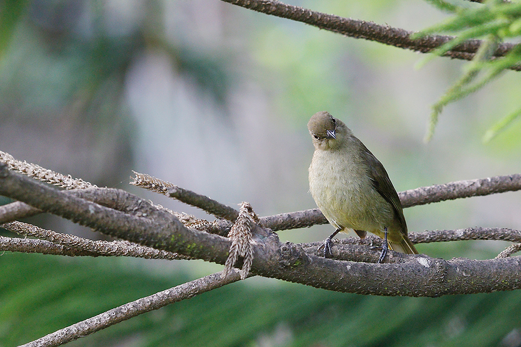 Sombre Greenbul / Ocean View, South Coast KwaZulu Natal, South Africa / 16 August 2015