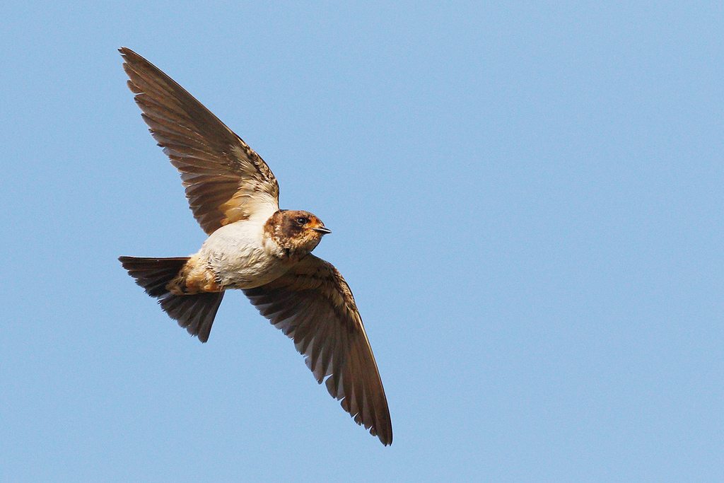 South African Cliff Swallow / Devon farmlands, South Africa / 04 March 2015