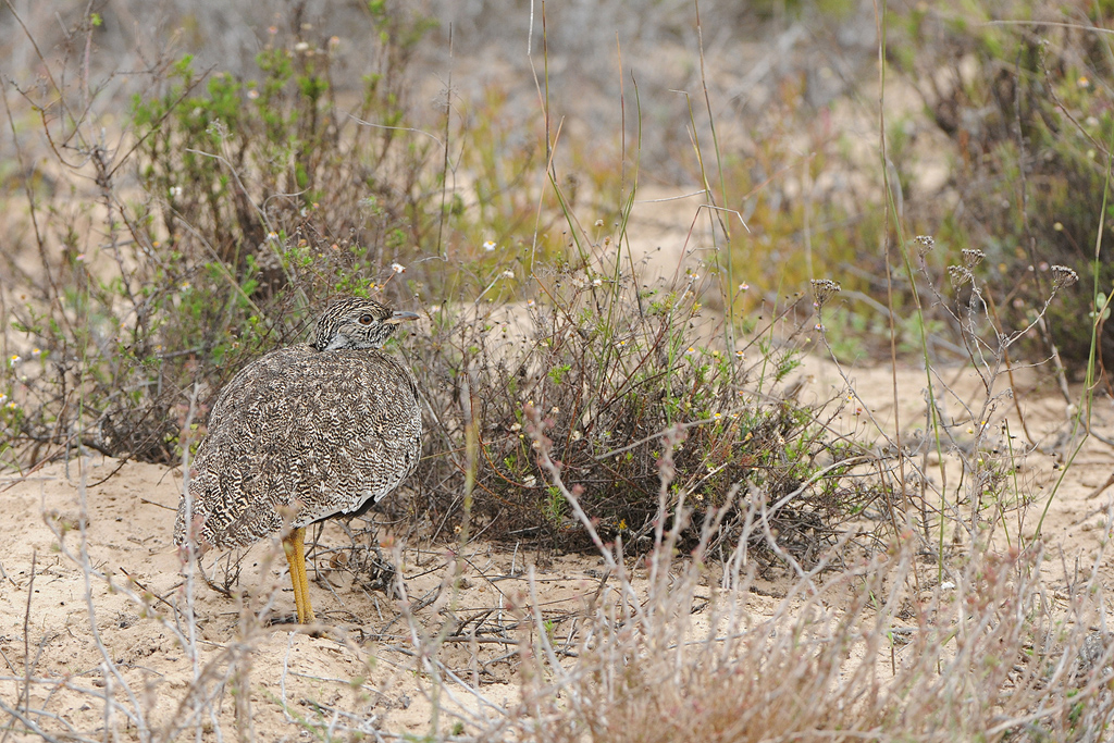 Southern Black Korhaan (female) / West Coast National Park, South Africa / 23 May 2015
