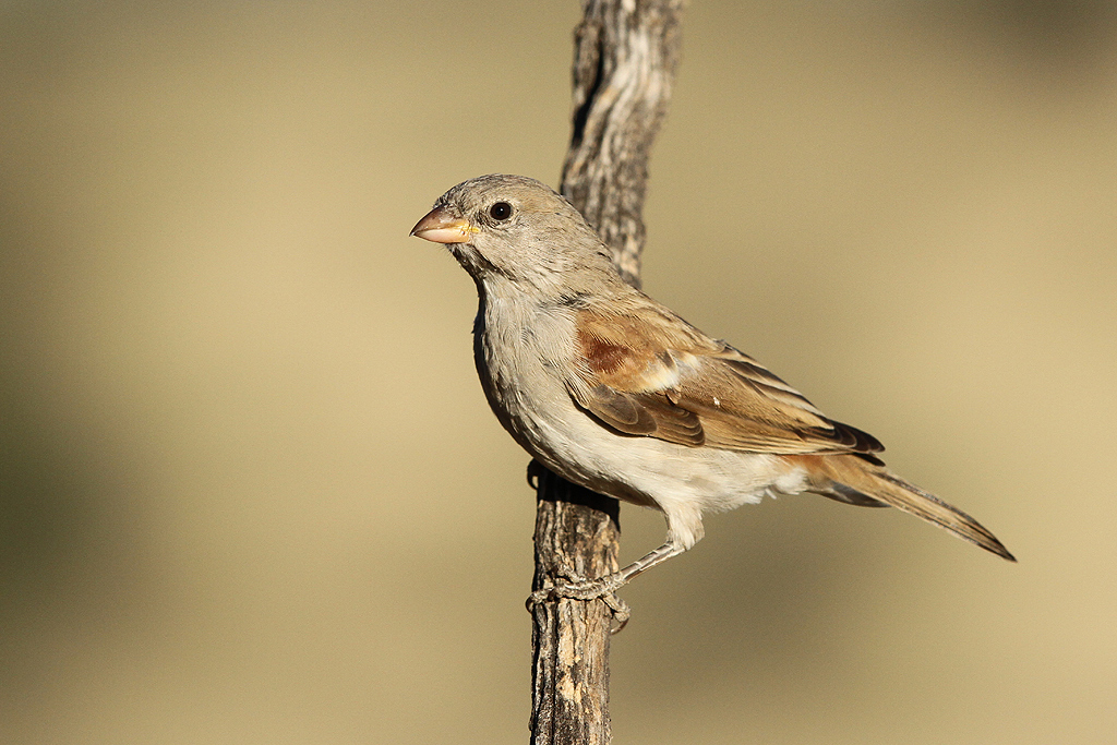 Southern Grey-headed Sparrow / Kgalagadi Transfrontier Park, South Africa / 10 June 2014