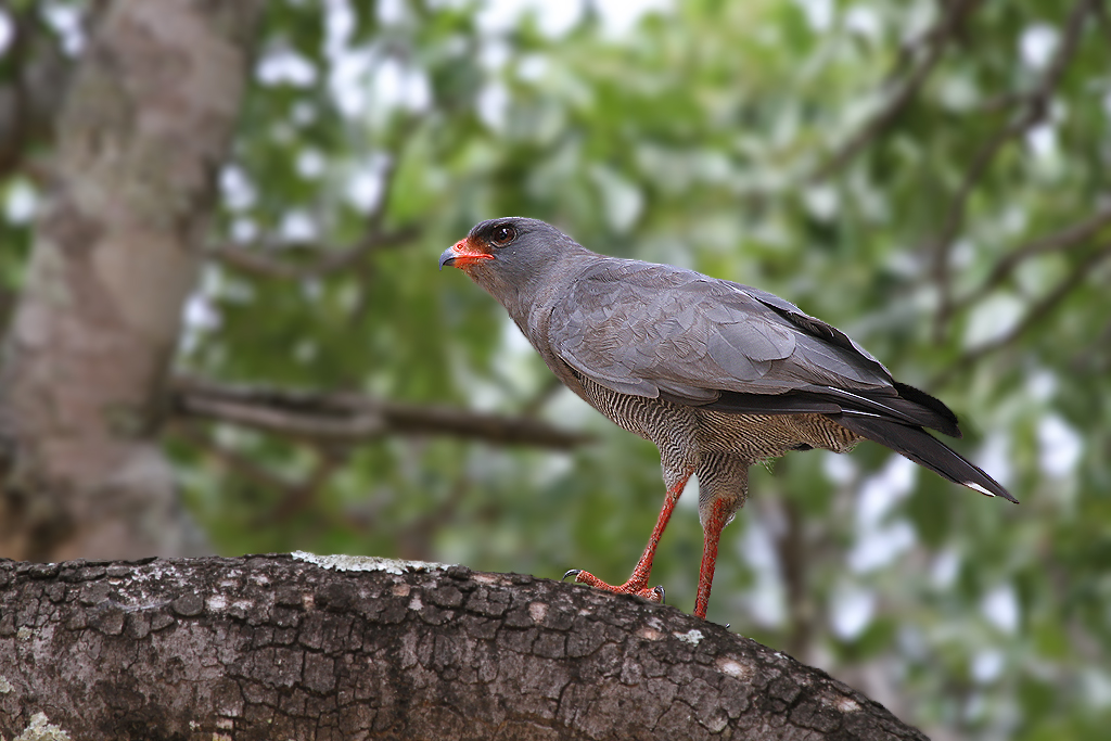 Dark Chanting Goshawk / Pretoriouskop, Southern Kruger National Park, South Africa / 02 March 2012