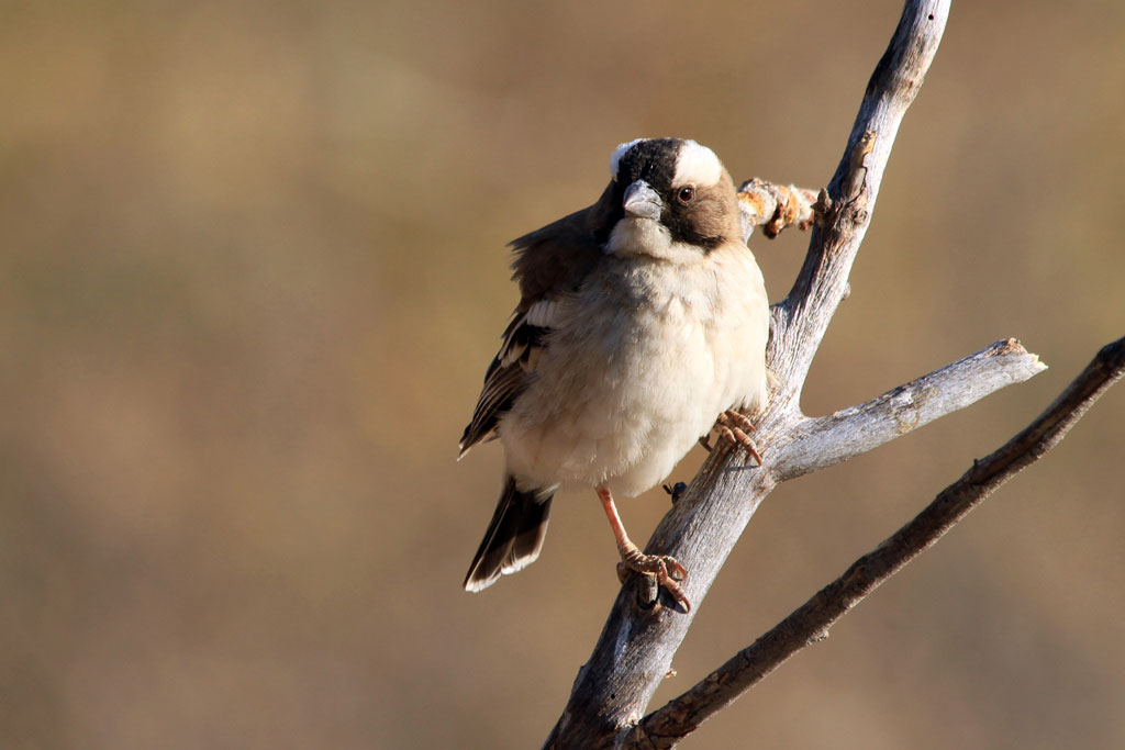 White-browed Sparrow-weaver (Mahali) /  Erongo Wilderness Camp, Central Namibia