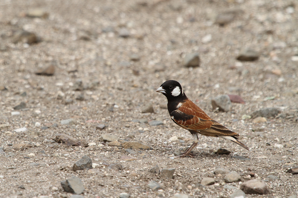 Chestnut-backed Sparrow-lark – male / Southern Kruger National Park, South Africa