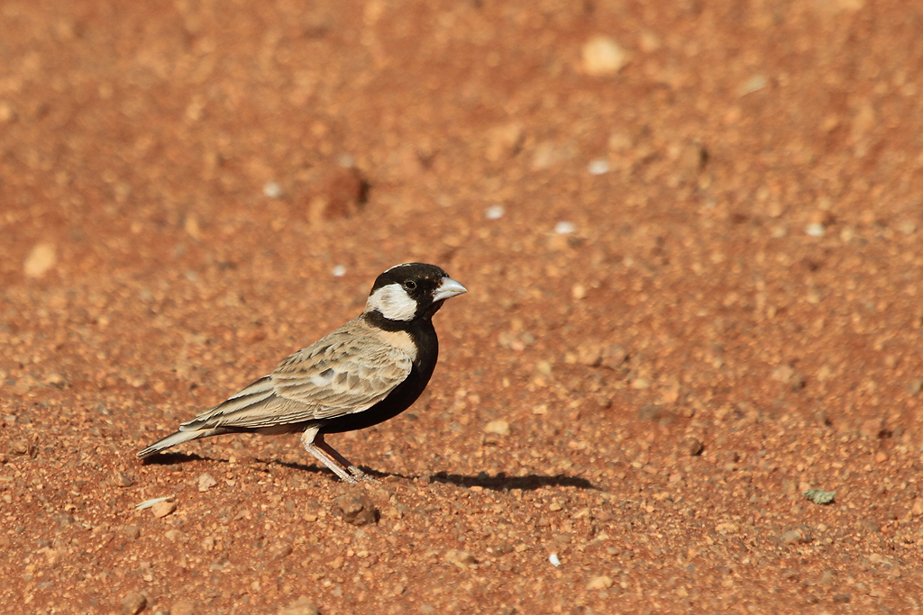 Sparrowlark, Greybacked (Aus, Southern Namibia) (Male) (Side) SM