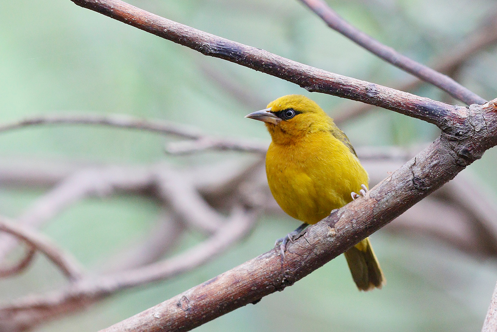 Spectacled Weaver / Ocean View, KwaZulu Natal, South Africa / 24 August 2015