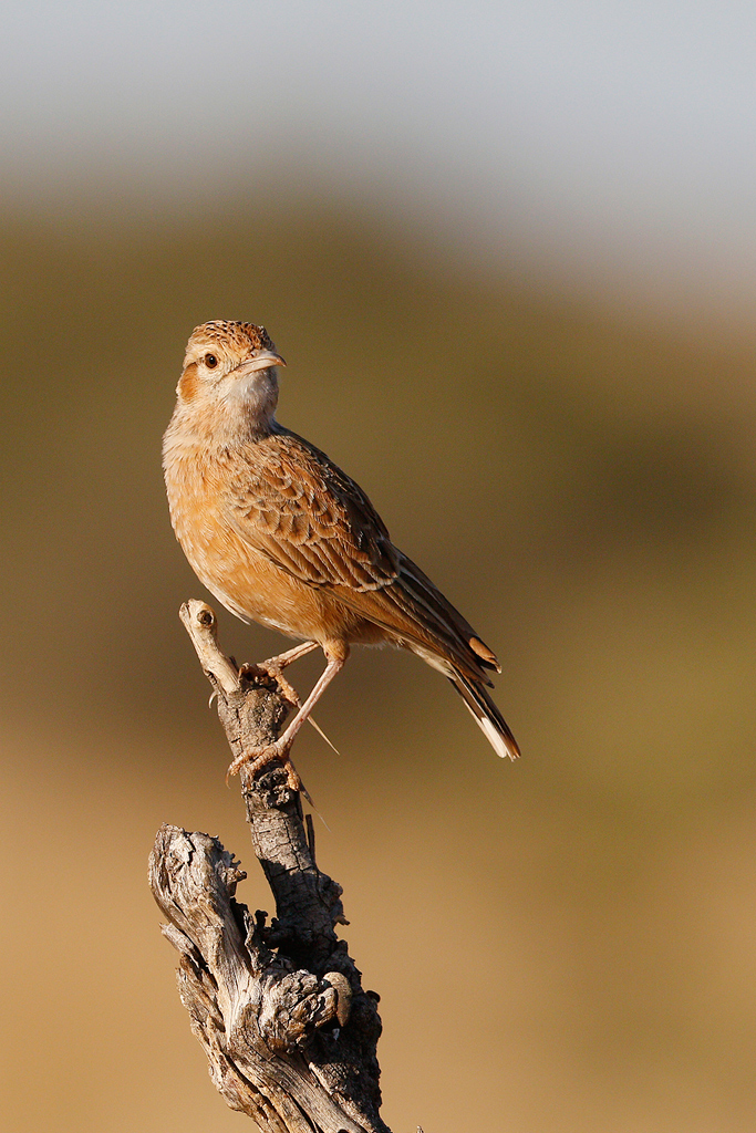 Spike-heeled Lark / Tswalu Game Reserve, South Africa / 15 June 2015