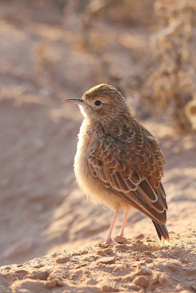 Spike-heeled Lark / Kgalagadi Transfrontier Park, South Africa / June 2014