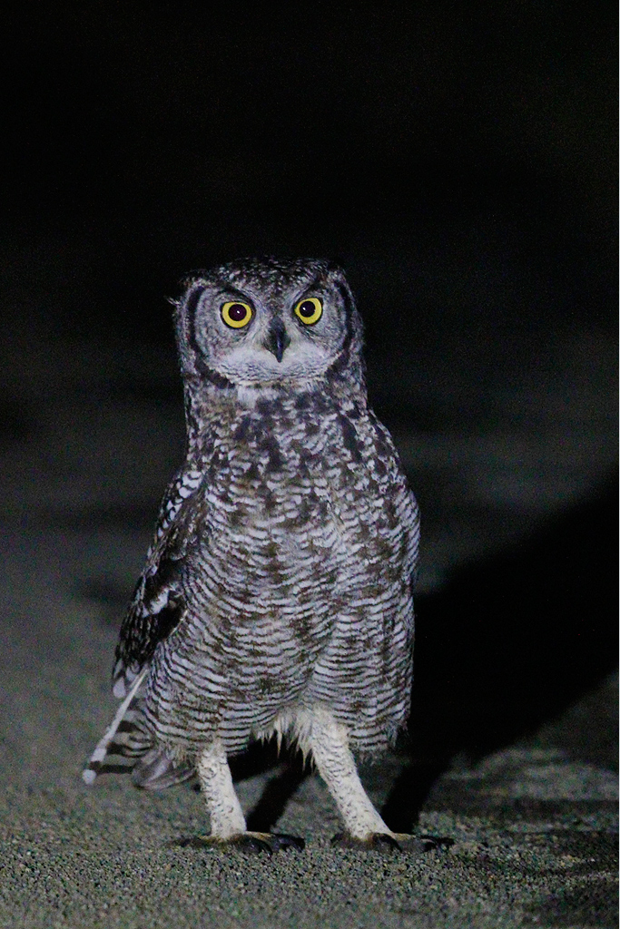 Spotted Eagle Owl / Devon farmlands, South Africa / 14 March 2015