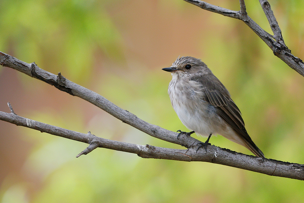Spotted-Flycatcher—Mabula-Game-Reserve,-Waterberg,-South-Africa—06-January-2015-2-CR-SMSH