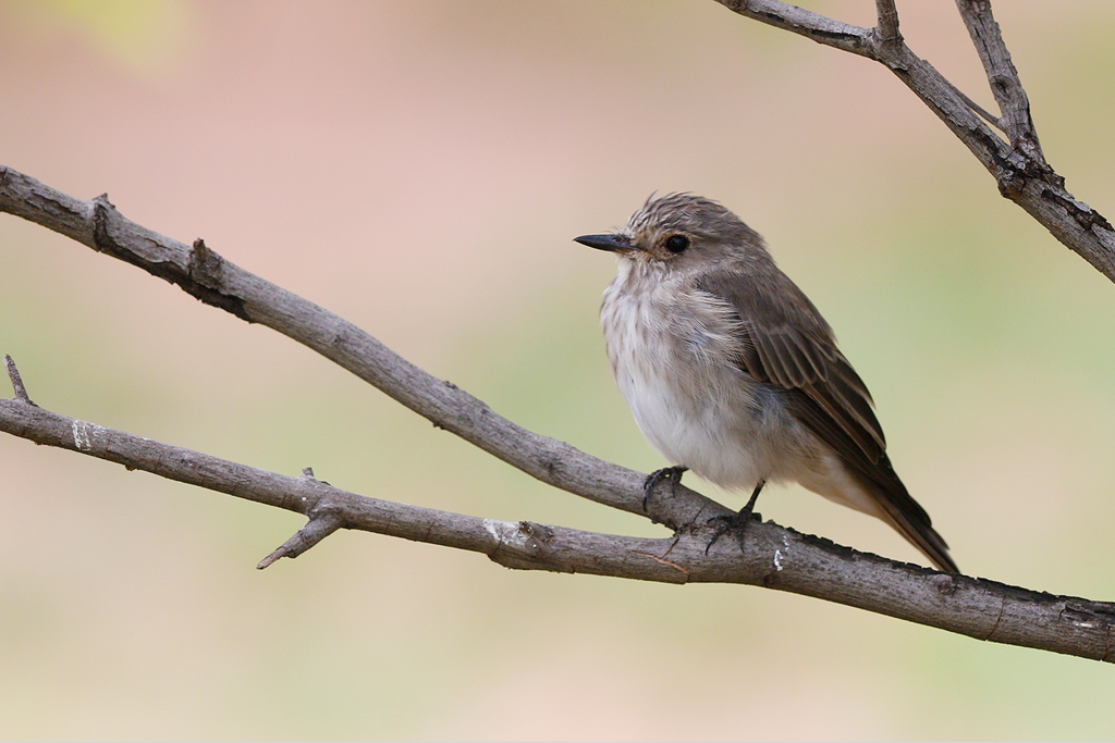 Spotted Flycatcher / Mabula Game Reserve, Waterberg, South Africa / 06 January 2015