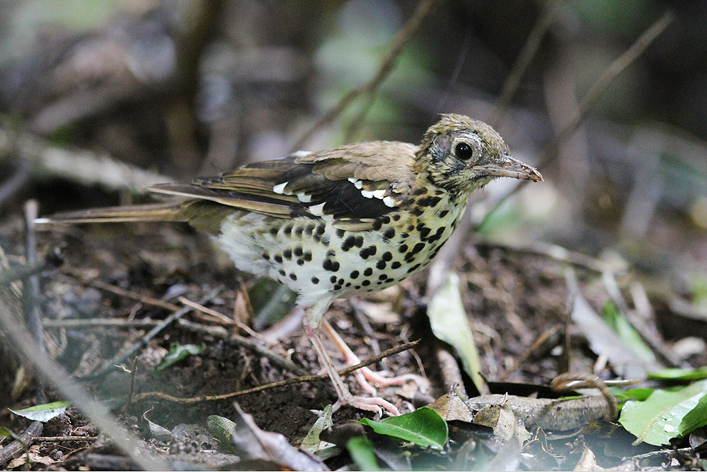 Spotted Ground Thrush / Dlinza Forest, Eshowe, KwaZulu Natal, South Africa / 20 March 2014