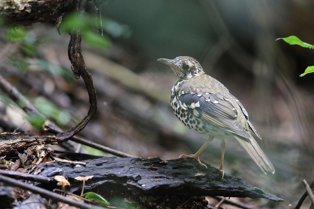 Spotted Ground Thrush – juvenile / Dlinza Forest, Eshowe, KwaZulu Natal, South Africa / 20 March 2014