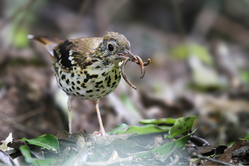 Spotted Ground Thrush – adult / Dlinza Forest, Eshowe, KwaZulu Natal, South Africa / 20 March 2014 (Edited – lens blur to background)