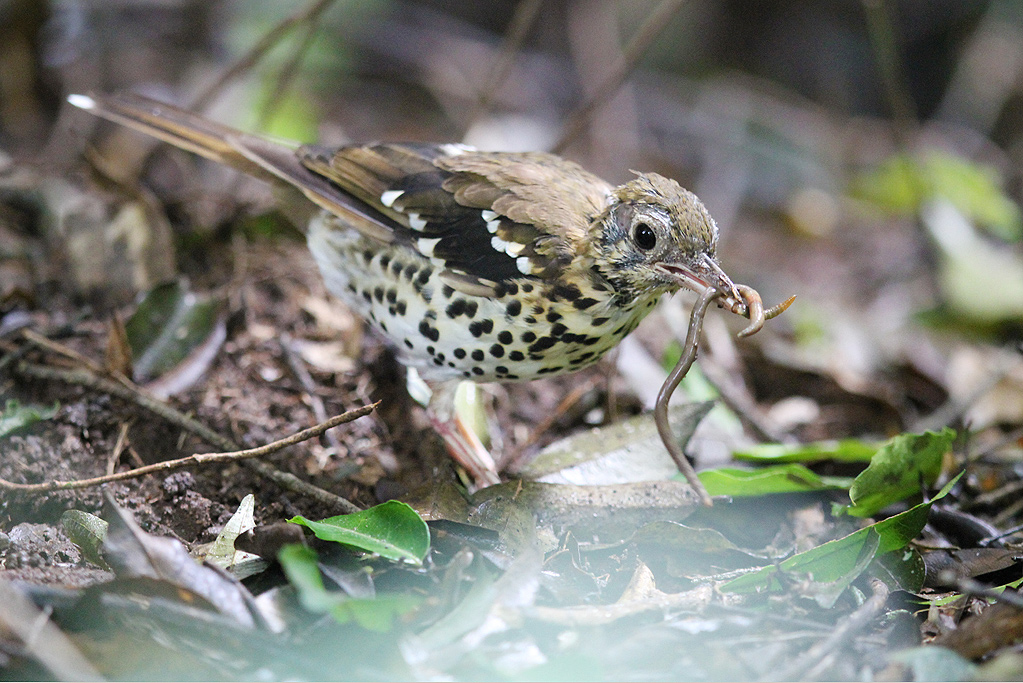 Spotted Ground Thrush – adult / Dlinza Forest, Eshowe, KwaZulu Natal, South Africa / 20 March 2014