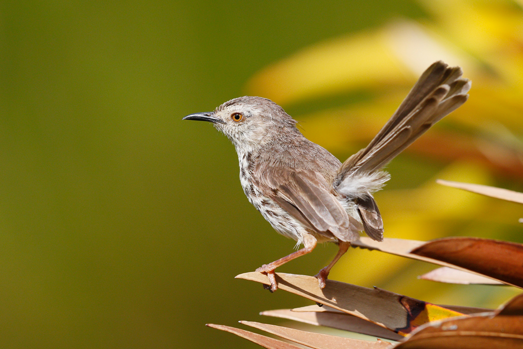 Karoo or Spotted Prinia / Kirstenbosch Gardens, Cape Town, South Africa / 23 December 2015