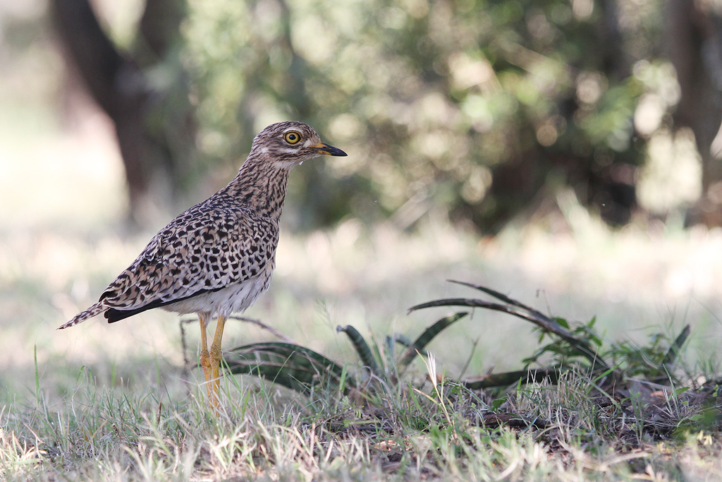 Spotted Thick-knee / Roodeplaat Nature Reserve, South Africa / 19 April 2014