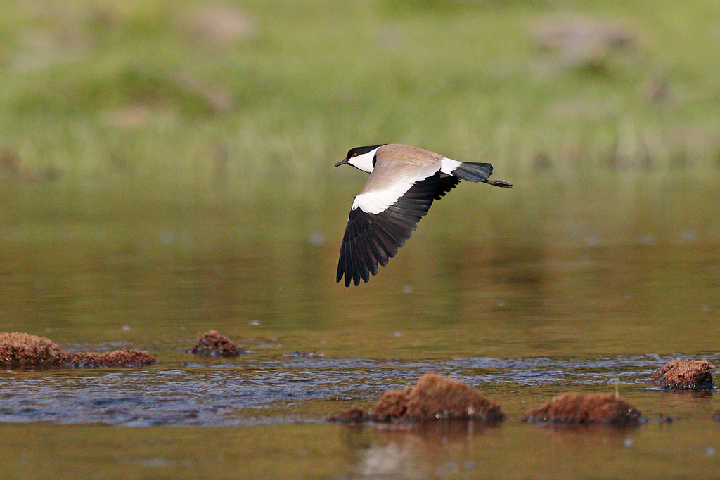 Spur-winged Lapwing / Benoue River, Cameroon / January 2017