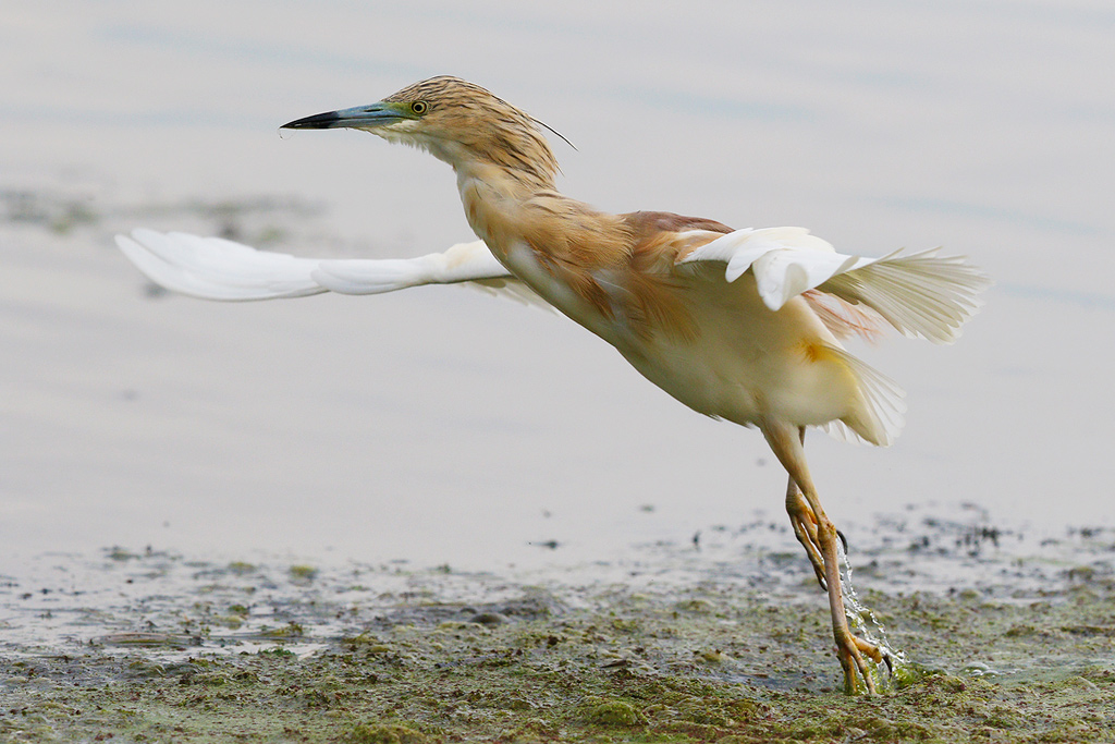 Squacco Heron / Marievale Bird Sanctuary, Nigel, South Africa / 22 November 2014