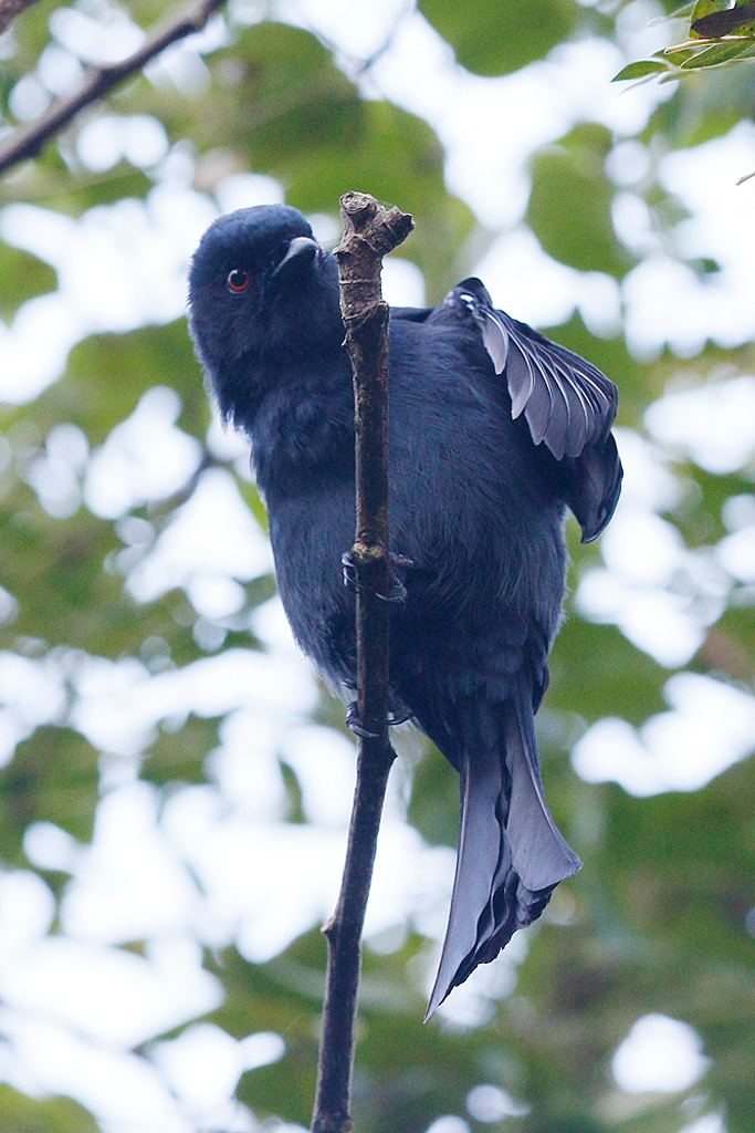 Square-tailed Drongo / Umdoni Forest, KwaZulu Natal, South Africa / 12 April 2015