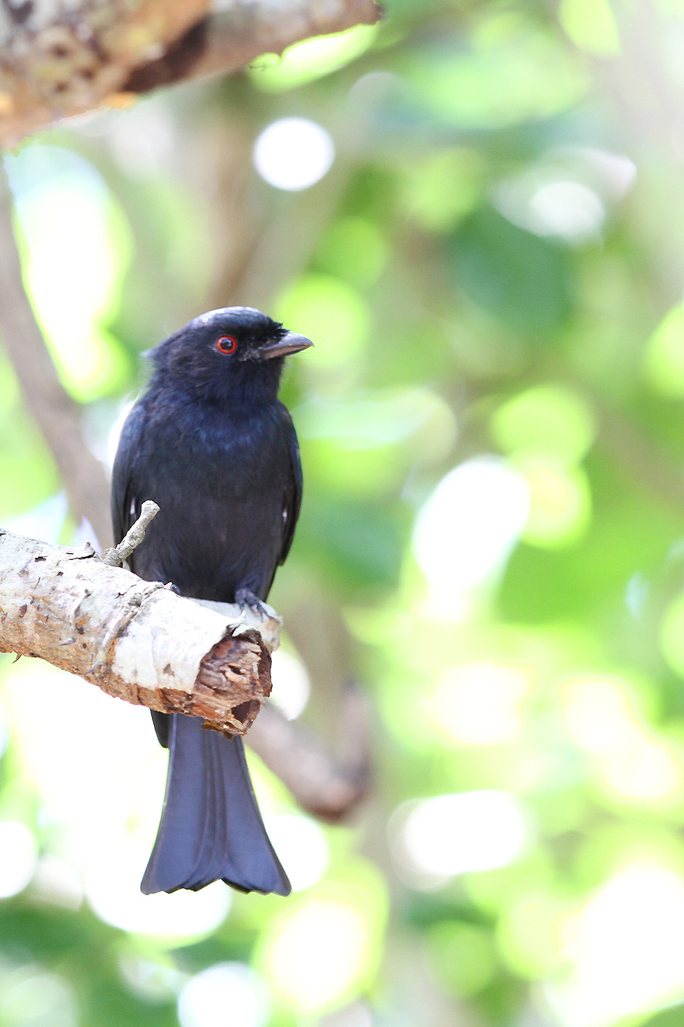 Square-tailed-Drongo-WEB