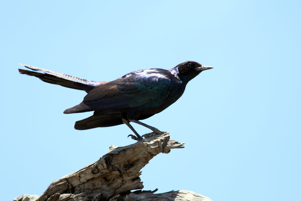 Burchell's Starling / Mkhombo Dam Nature Reserve, South Africa