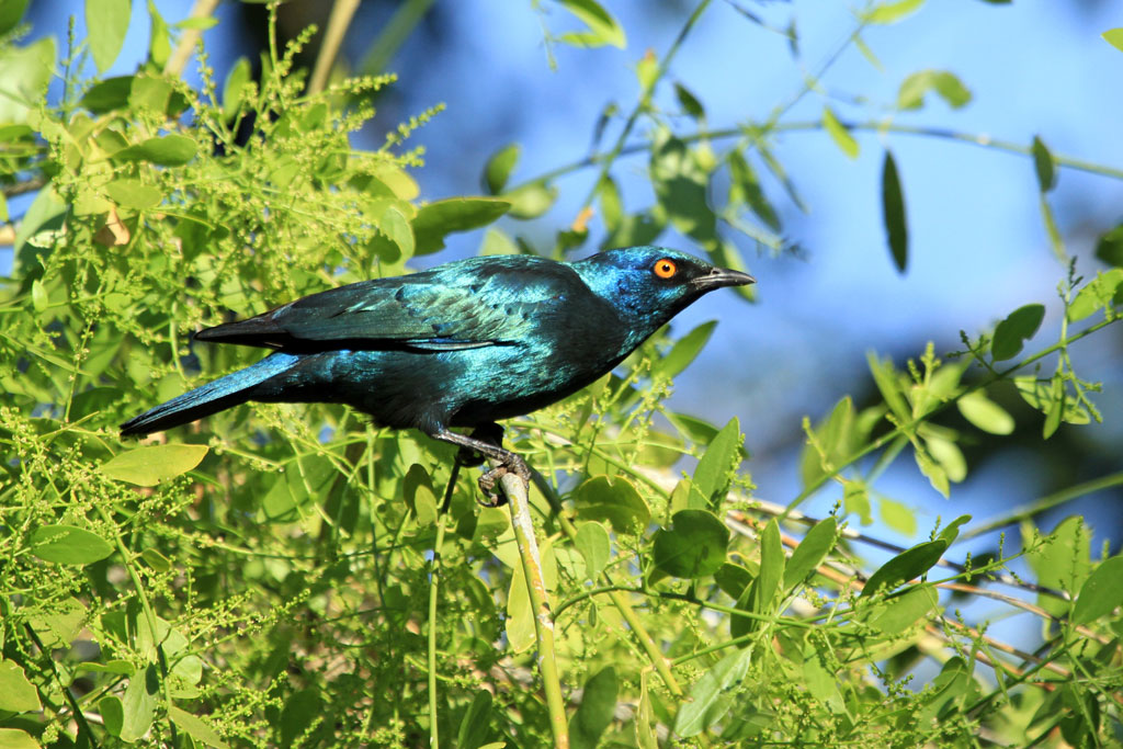 Cape Glossy Starling / Kunene River Lodge, Northern Namibia / 14 July 2012