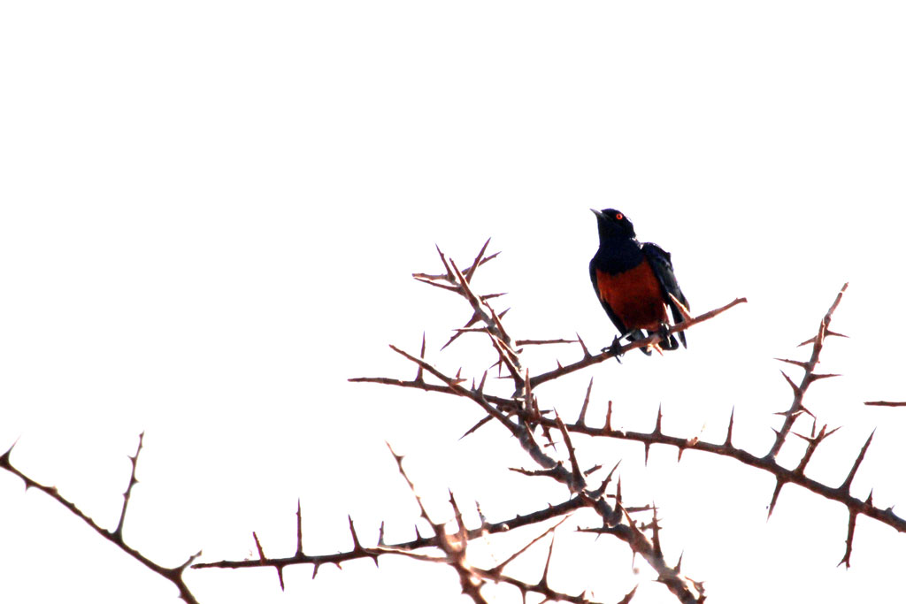Hildebrandt's Starling / Tsavo West National Park, Kenya