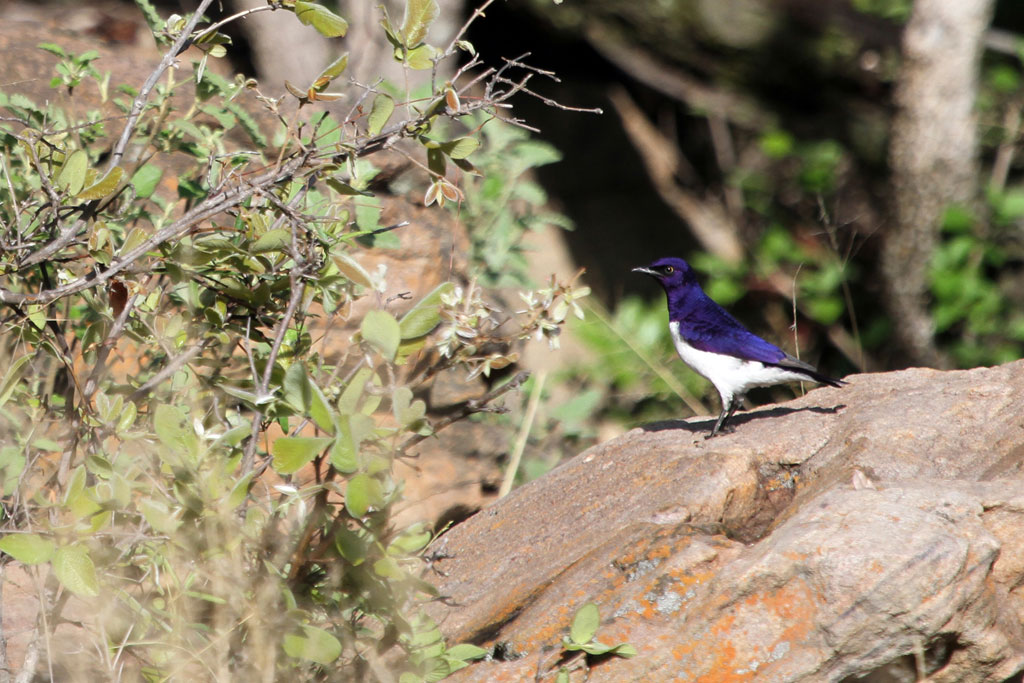Violet-backed Starling / Gnu Ranch, Waterberg, South Africa