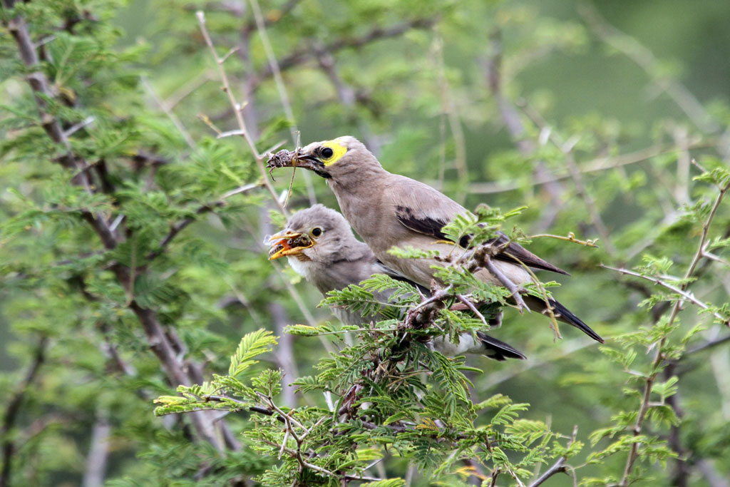 Wattled Starling / Southern Kruger National Park, South Africa