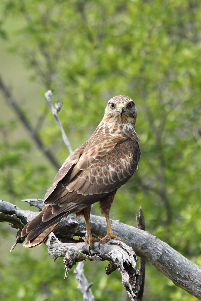 Steppe-Buzzard—Zingela-(near-Weenen),-KZN—28-November-2014-BEST-CR2-SH-LB
