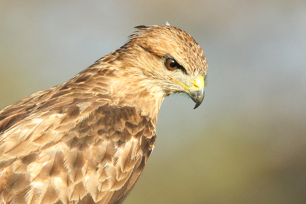Steppe Buzzard / Zaagkuildrift, South Africa / 15 Feb 2014 (Edited)