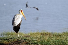 Yellow-billed Stork / Lake Nakuru, Kenya / 13 September 2011
