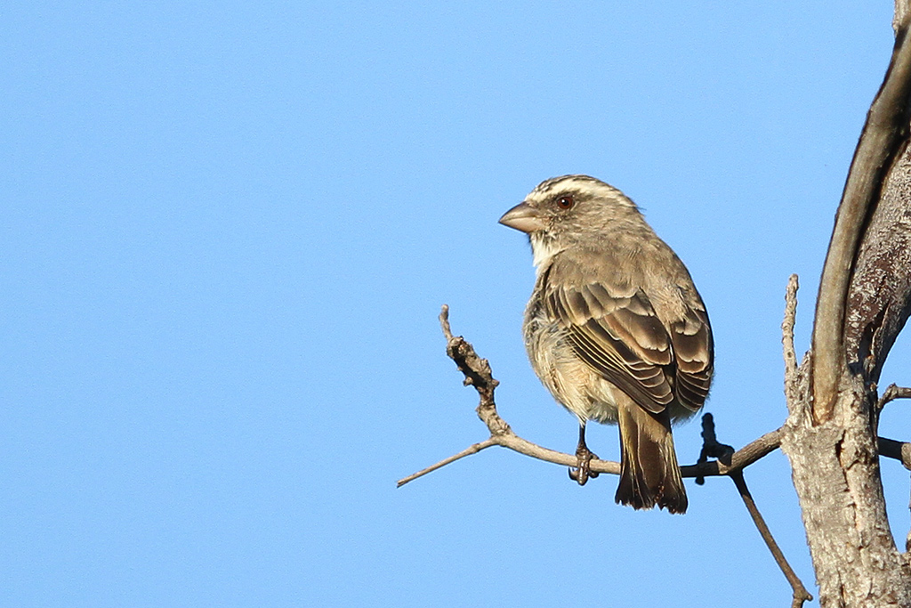 Streaky-headed-Seedeater_Rinkhals-Street,-Seringveld-Conservancy,-South-Africa_19-April-2014-CR-BR-SM-SH