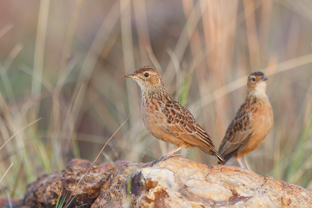Spike-heeled Lark / Eendracht Road, Suikerbosrand, South Africa / 19 May 2016