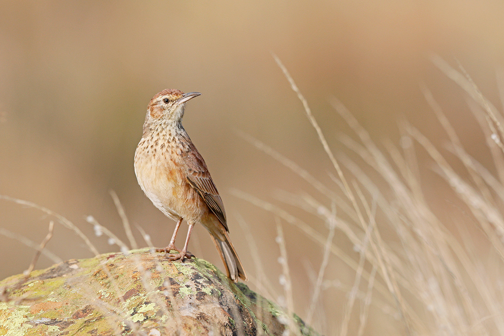 Eastern Long-billed Lark