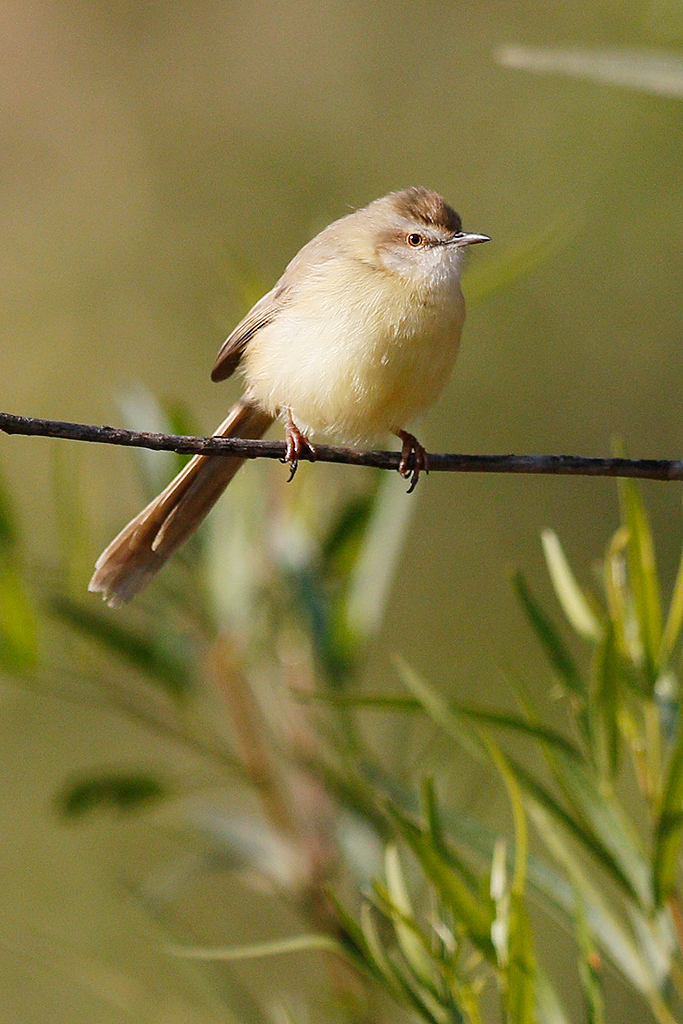 Tawny-flanked Prinia / Suikerbosrand Nature Reserve, Gauteng, South Africa