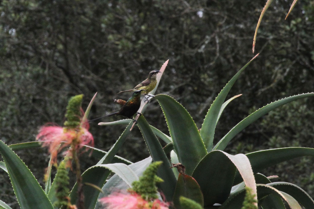 Bronze Sunbird / Aberdares Country Club, Kenya