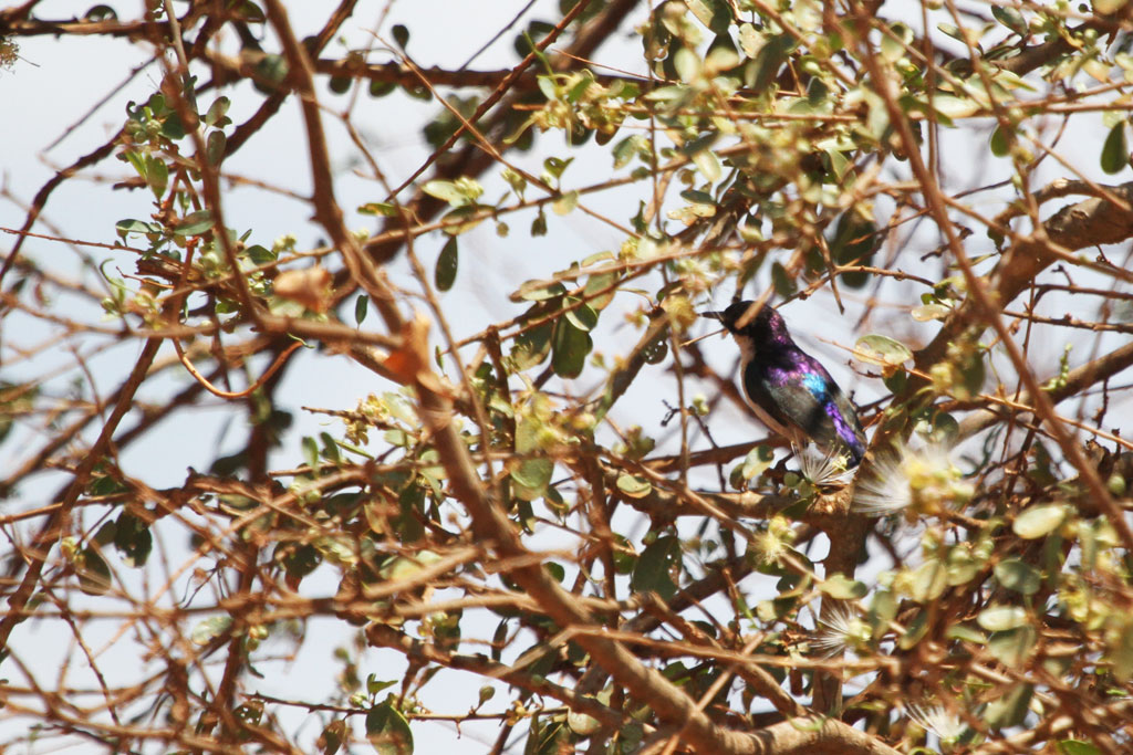 Eastern Violet-backed Sunbird / Tsavo West National Park, Kenya