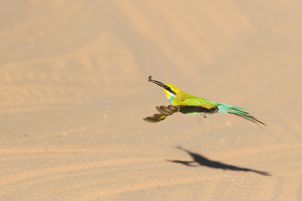 Swallow-tailed Bee-eater / Kgalagadi Transfrontier Park, South Africa / 15 June 2014