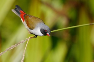 Waxbills, Crimsonwings & Seedcrackers