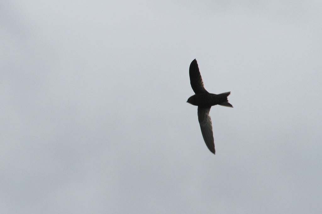 African Black Swift / Strandfontein Sewage Works, South Africa