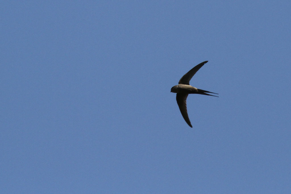 African Palm-Swift / Sun City, South Africa