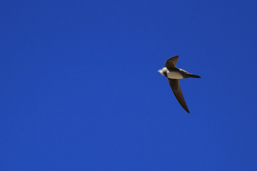 Alpine Swift (Marjoriae) / Zebra River Lodge, Southern Namibia