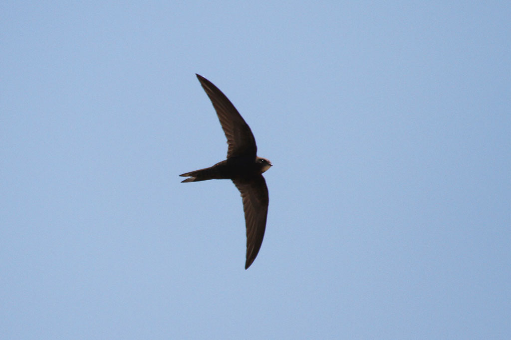 Common Swift / Mkhombo Dam Nature Reserve, South Africa