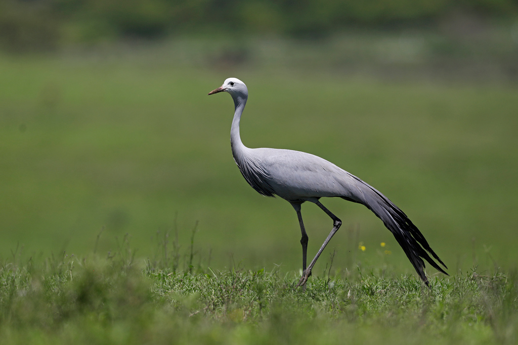 Blue Crane / Tala Game Reserve, South Africa / November 2020