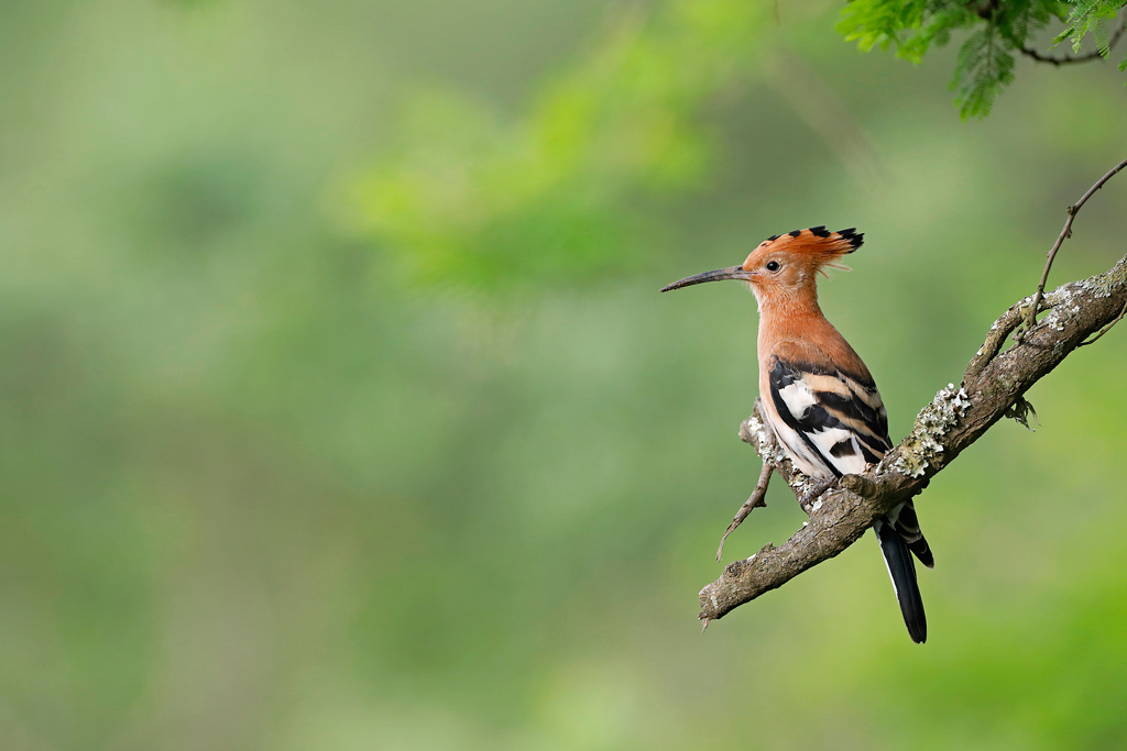 African Hoopoe / Tala Game Reserve, KZN, South Africa / November 2020