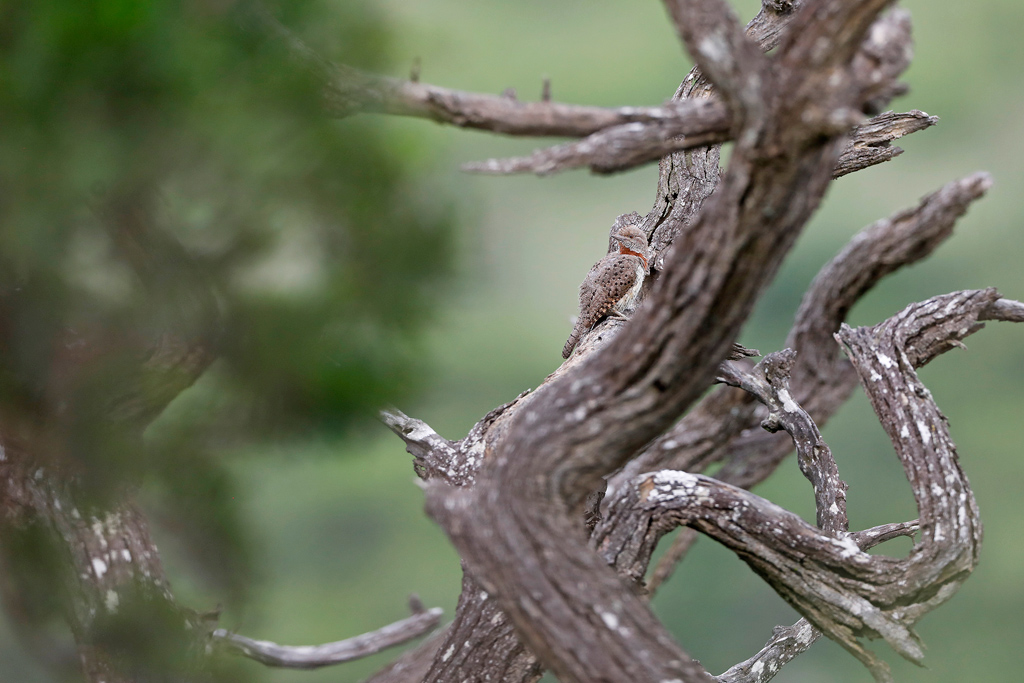 Red-throated Wryneck / Tala Game Reserve, South Africa / November 2020